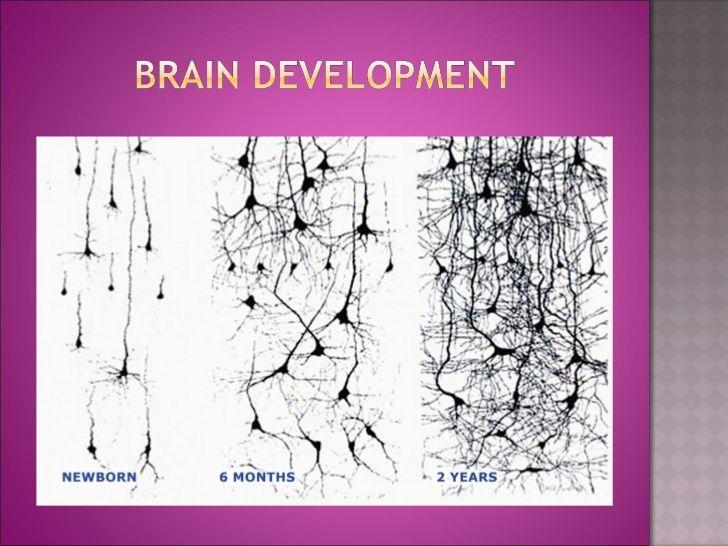 Early Childhood Trauma And Brain Development Powerpoint Brain