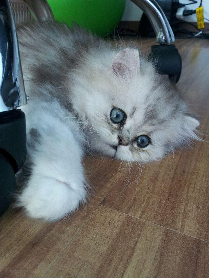 ️Kismet Kittens For Golden Chinchilla Shaded Doll Face