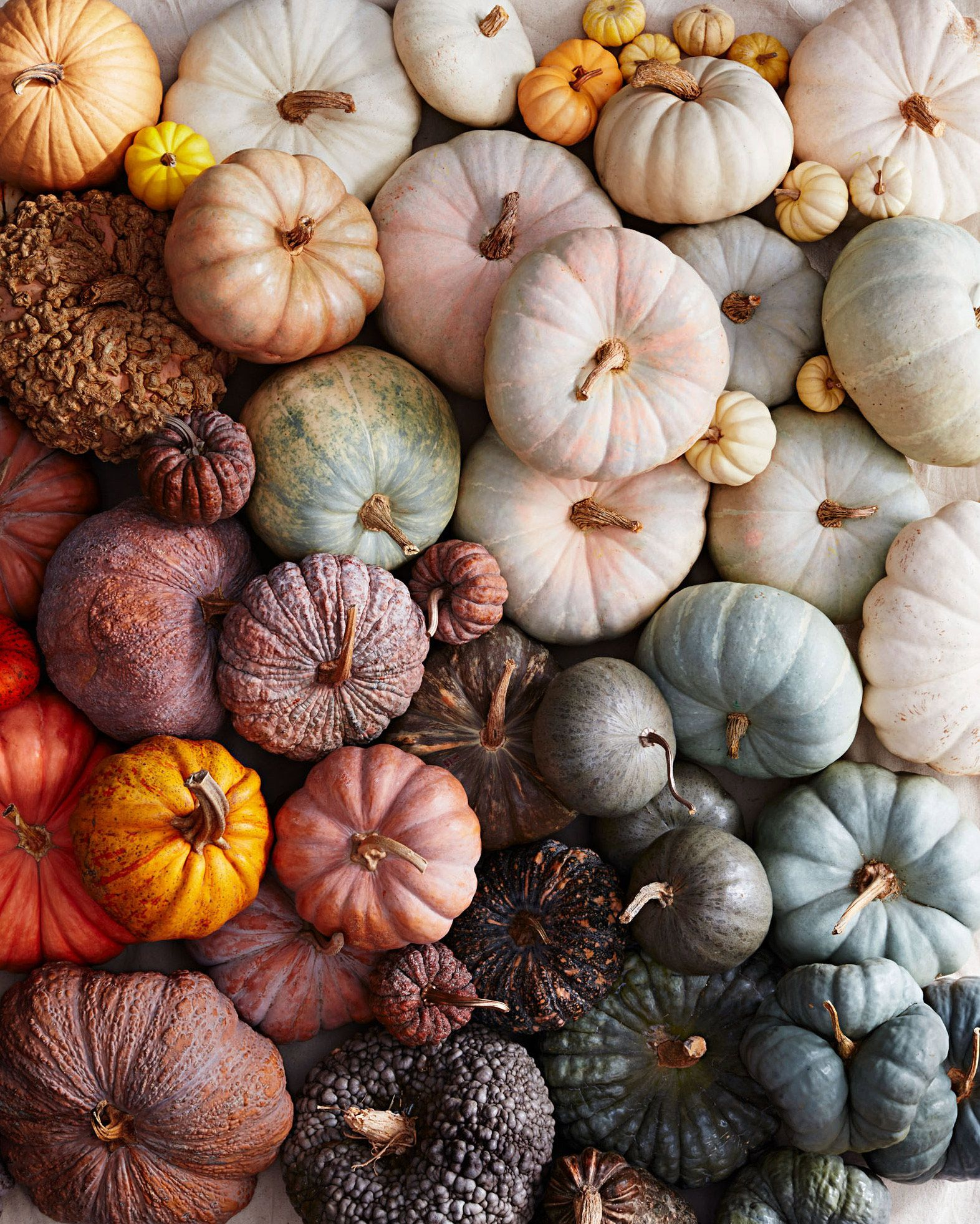 For aficionados, the beauty is in the bumps—and the curves, tonal colors, and unique marbled, mottled patterns. Learn how to identify these top heirlooms and hybrids. #marthastewart #pumpkins #falldecor #fall