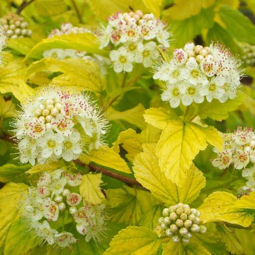 physocarpus opulifolius 39 dart 39 s gold 39 things outside. Black Bedroom Furniture Sets. Home Design Ideas