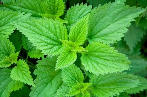 アレルギー、利尿作用、関節炎、前立腺肥大症など、とても有益なハーブですが、敏感に反応する人もいて、使用には注意が必要です。ミネラルやビタミンを豊富に含み、野菜としてもスープや炒め物に、また、乾燥した葉はお茶としても美味しく頂けます。