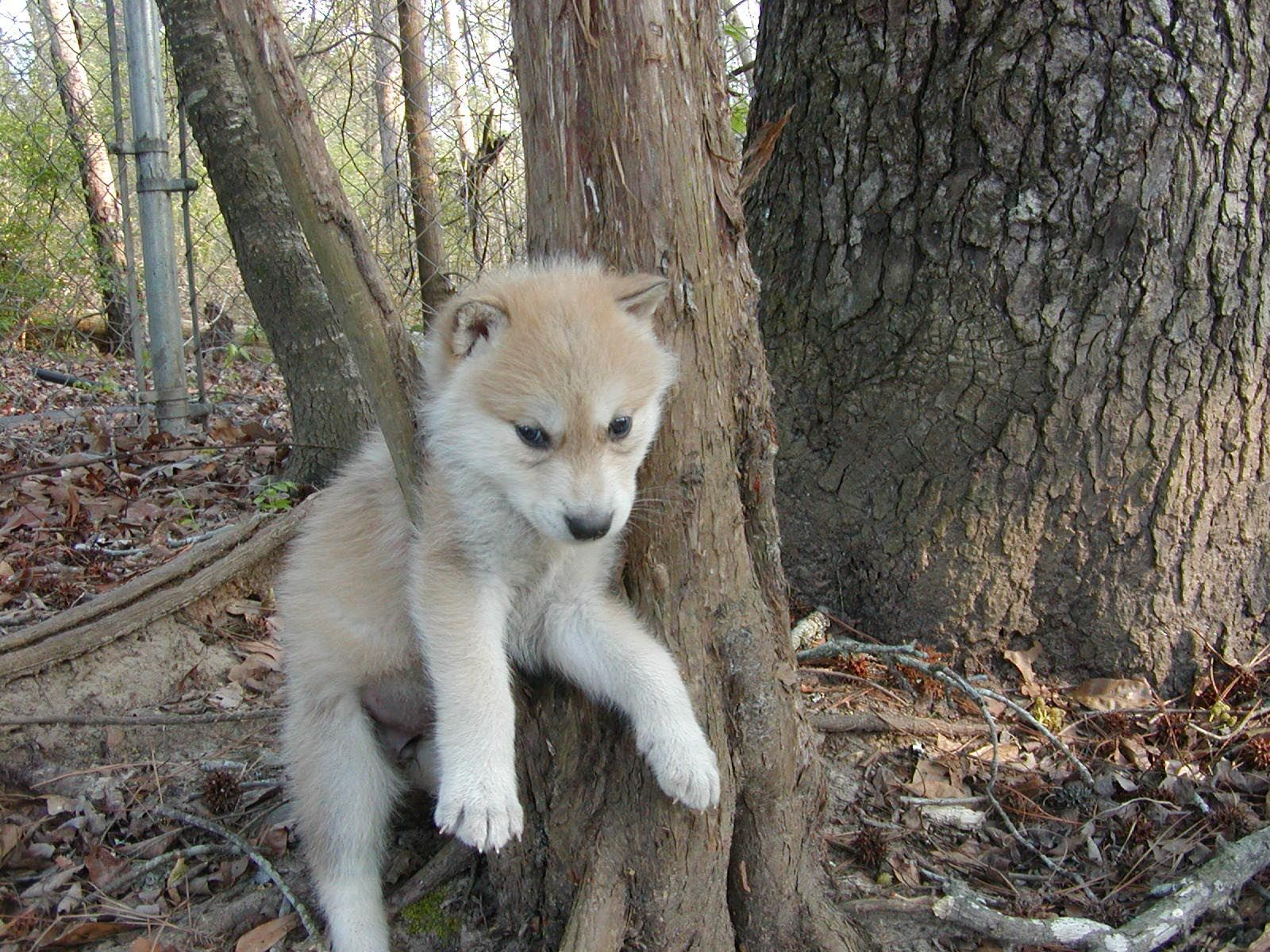 Wolf Puppies - Wolf Dogs For Sale Wolf Dog Puppies
