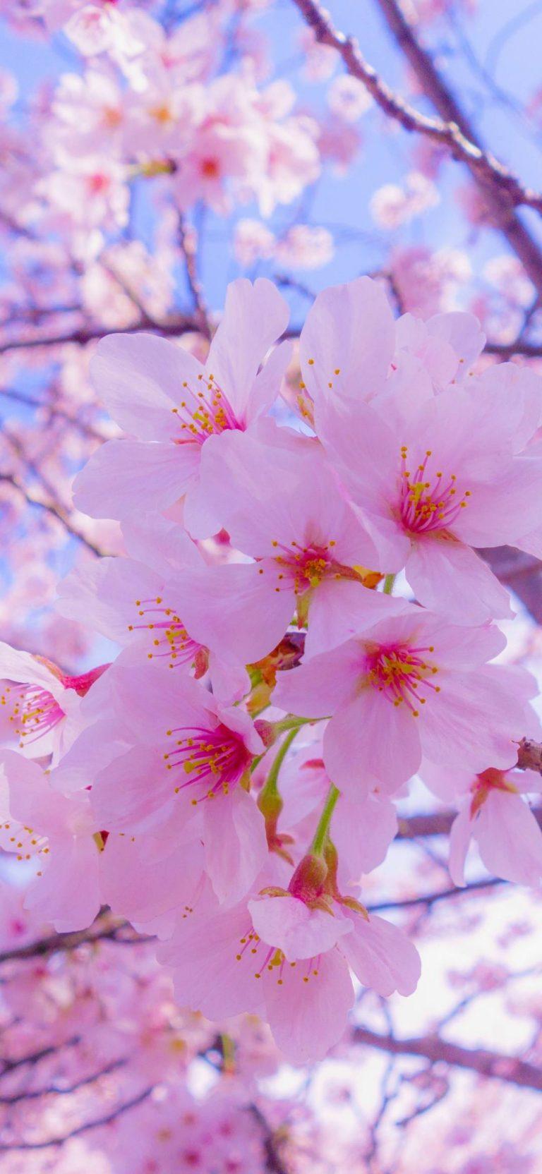 Pin Oleh Savanna Sutton Di Wallpaper Bunga Sakura Estetika Bunga Wallpaper Musim Semi