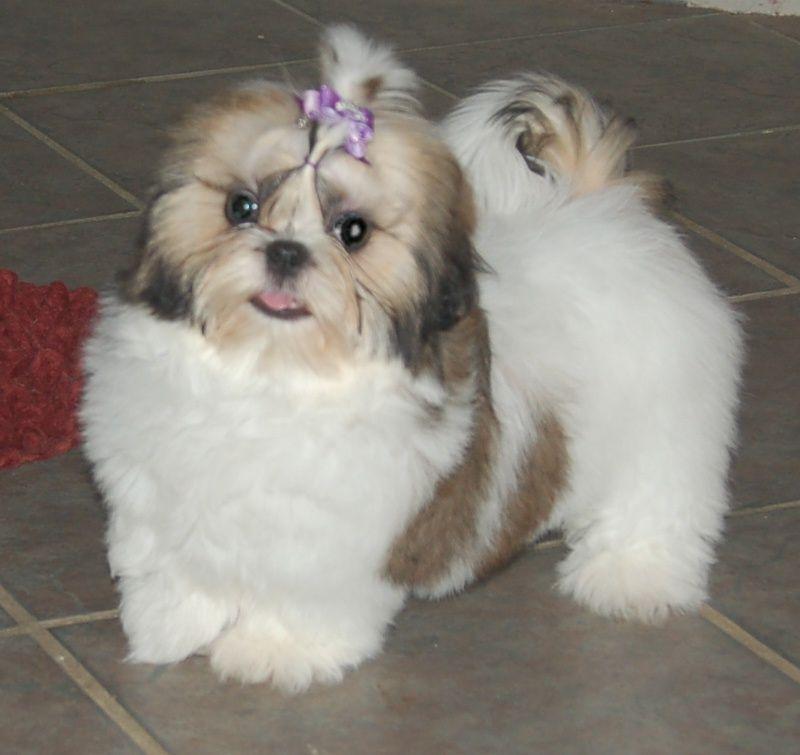Shaggy Shih Tzu Shih Tzu Puppy Shih Tzu Dog Shih Tzu