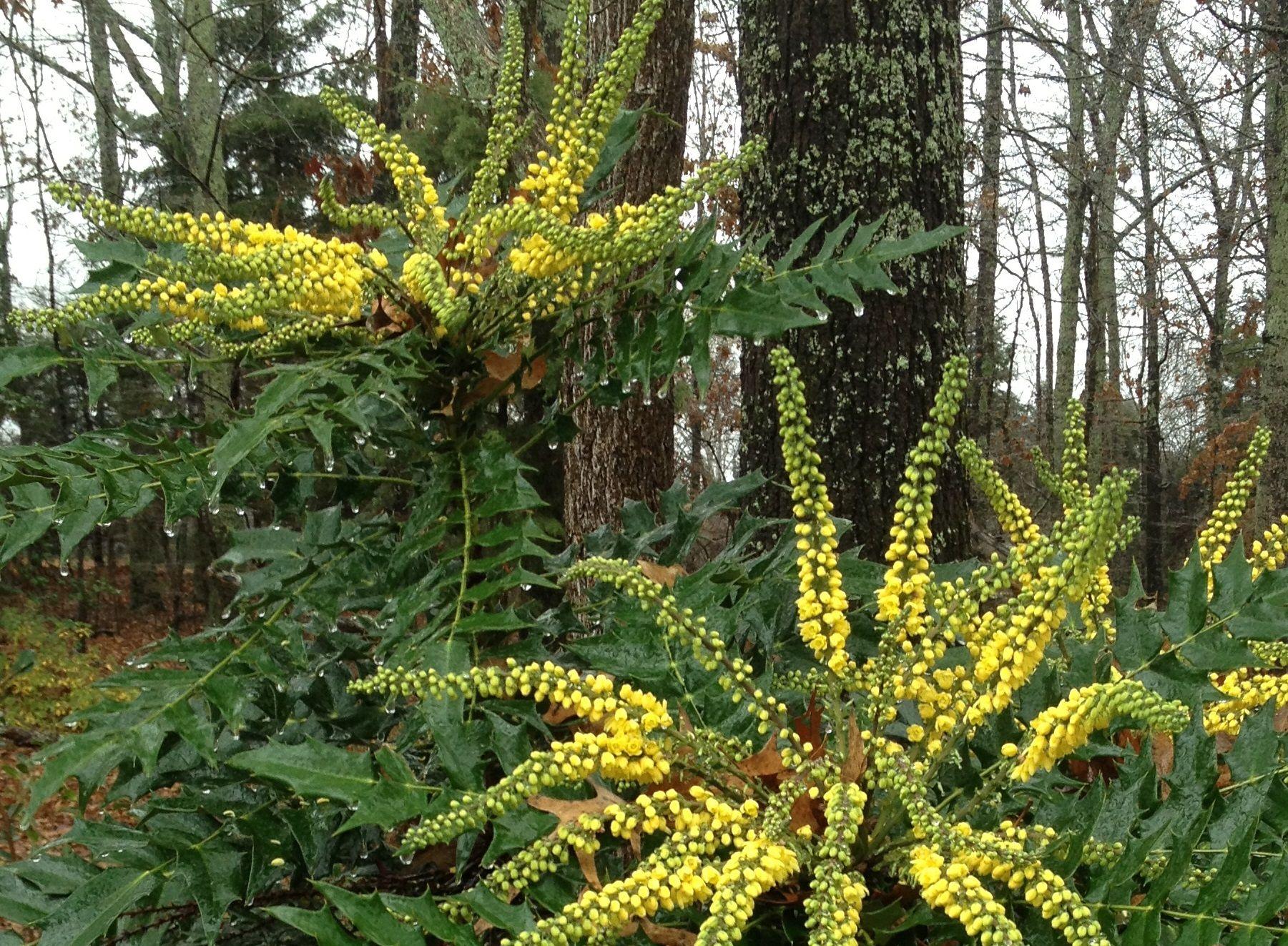 Mahonia 'Winter Sun', plant, garden, winter, colour, yellow, Mahonia