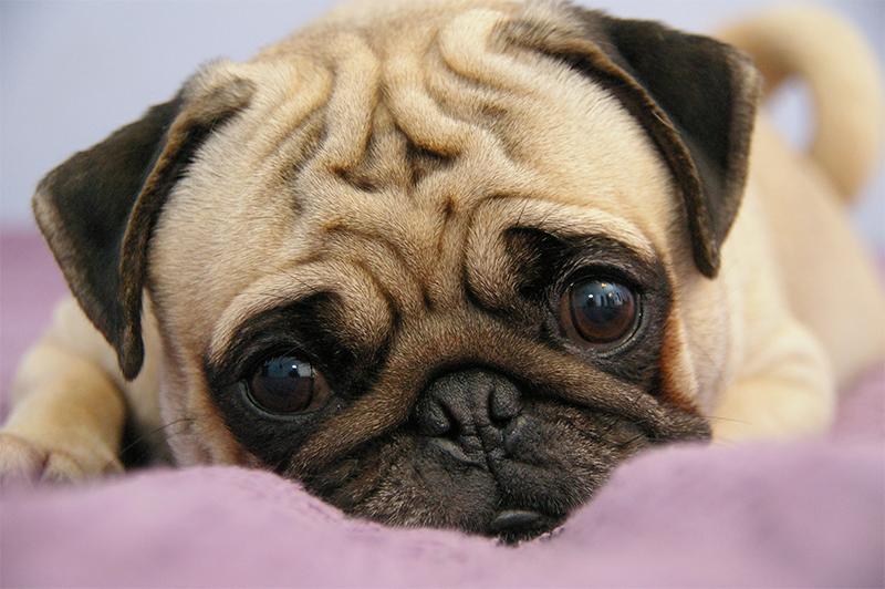 Pug - Top 10 raças pequenas e fofas