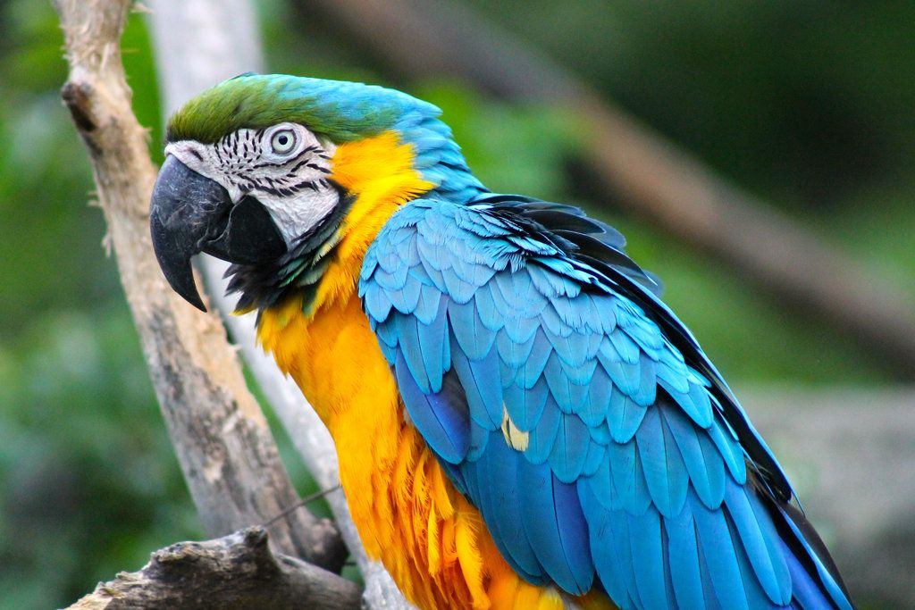 Blue and yellow macaw parrot by