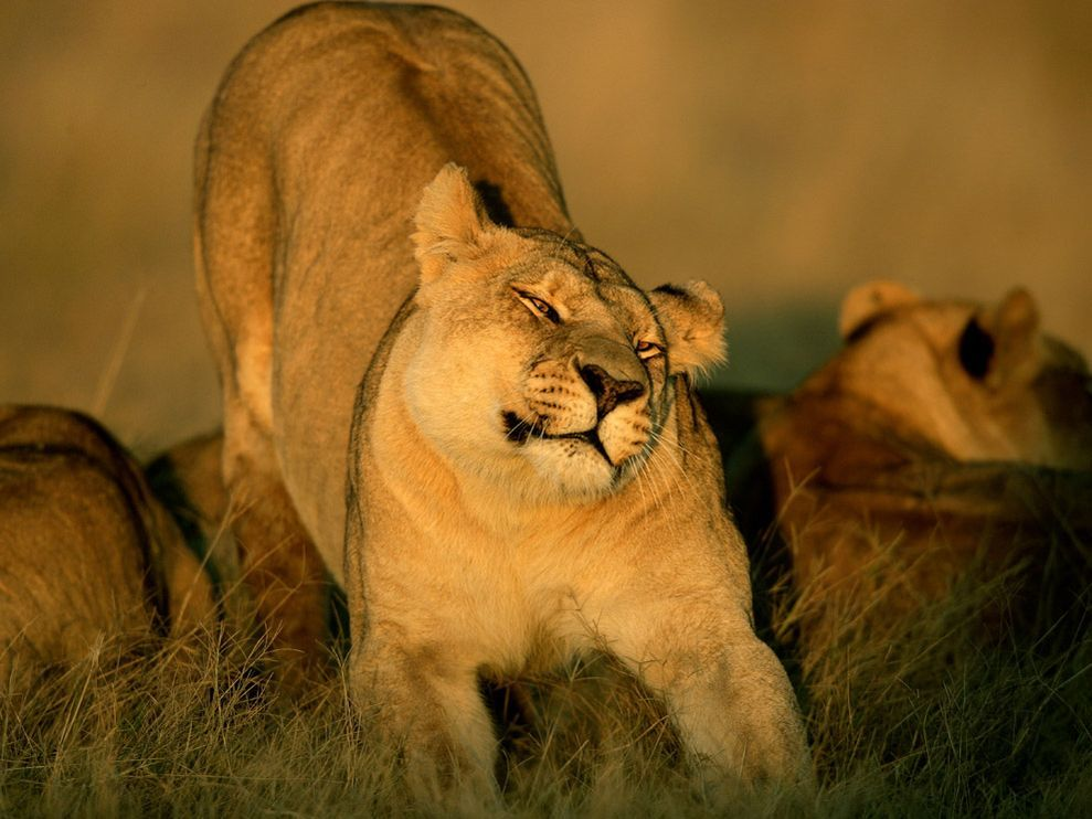 Вставить картинку, открытки львицы