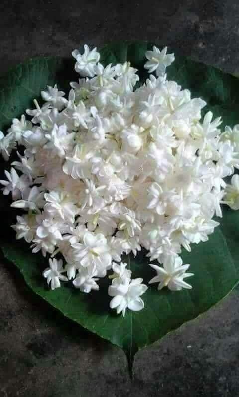 جميل جدا الورد الأبيض Good Morning Flowers Morning Flowers Beautiful Flowers