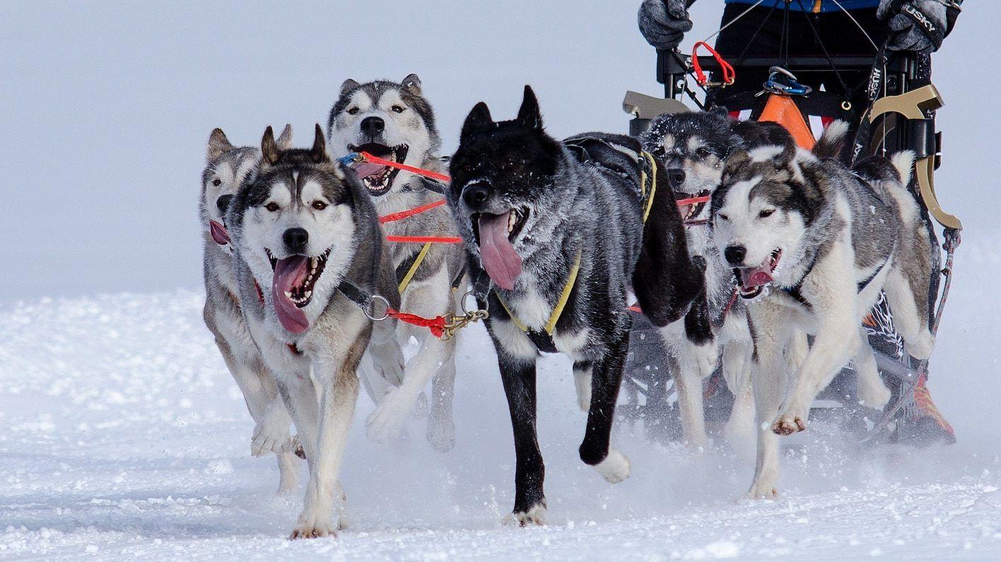 Say Hello Best Way To Get Around In The Snow Alaskan Husky
