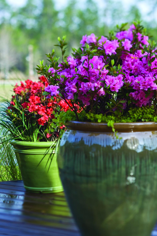 4 Tips for Growing Azaleas in Pots Azaleas, Rhododendron