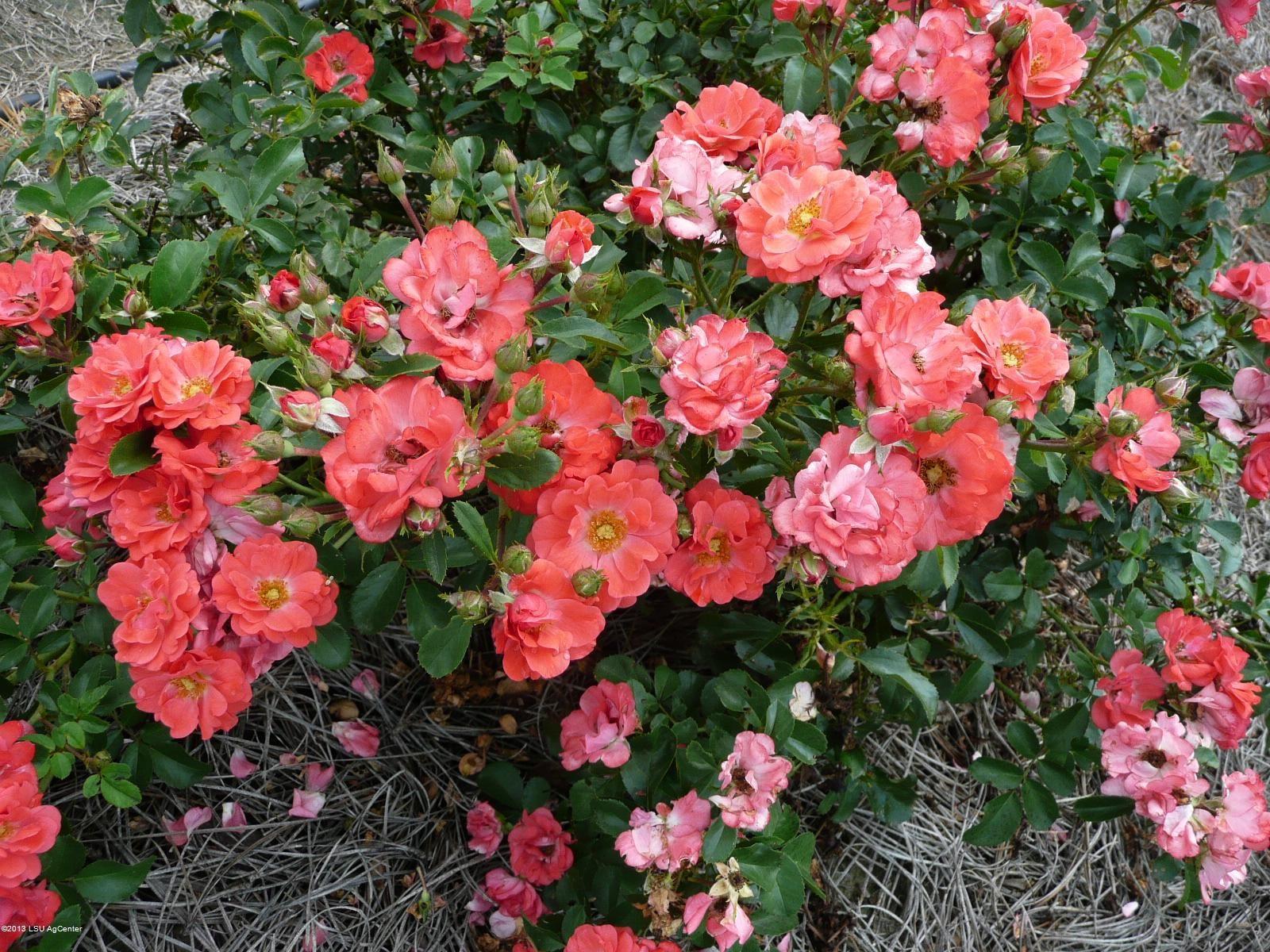 drift roses - coral color | coral drift flowers peach drift flowers ...