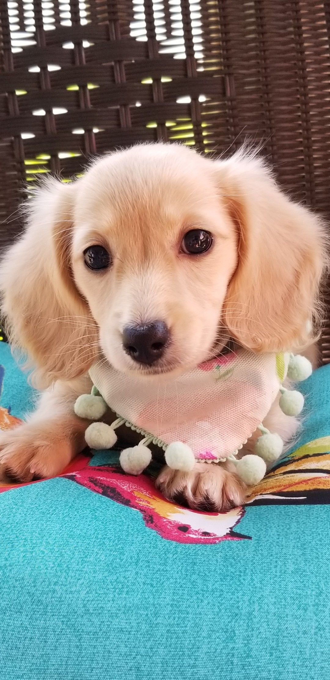 Miniature Longhaired English Cream Dachshund Puppy! Our
