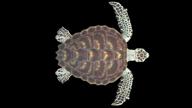 Animated Loggerhead Sea Turtle Turtle Loggerhead Turtle Loggerhead Sea Turtle