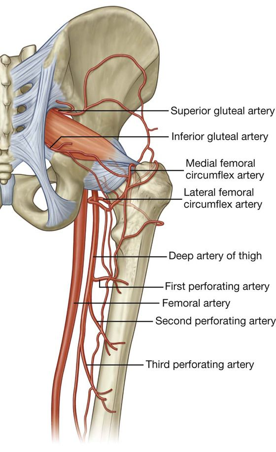 Arteries Of The Hip And Gluteal Region Anatomy Pinterest Medicine