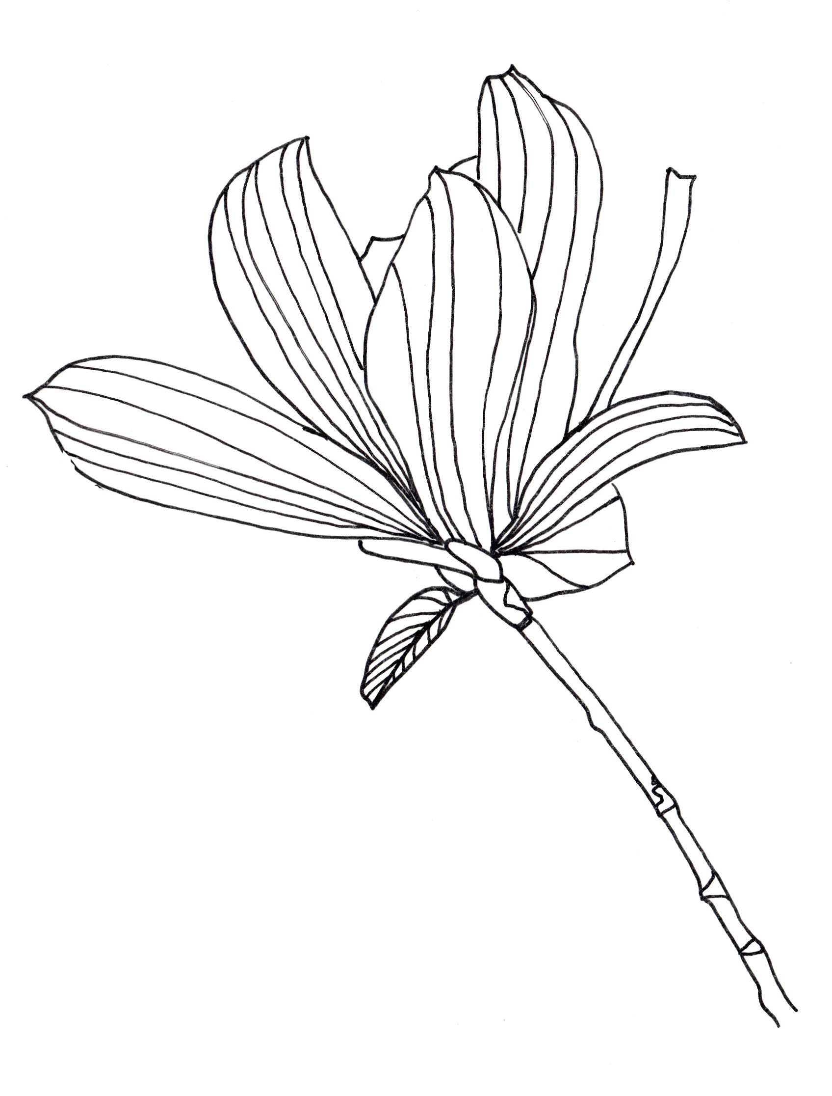 Flower Petals Line Drawing : Tulip petals drawing imgkid the image kid has it