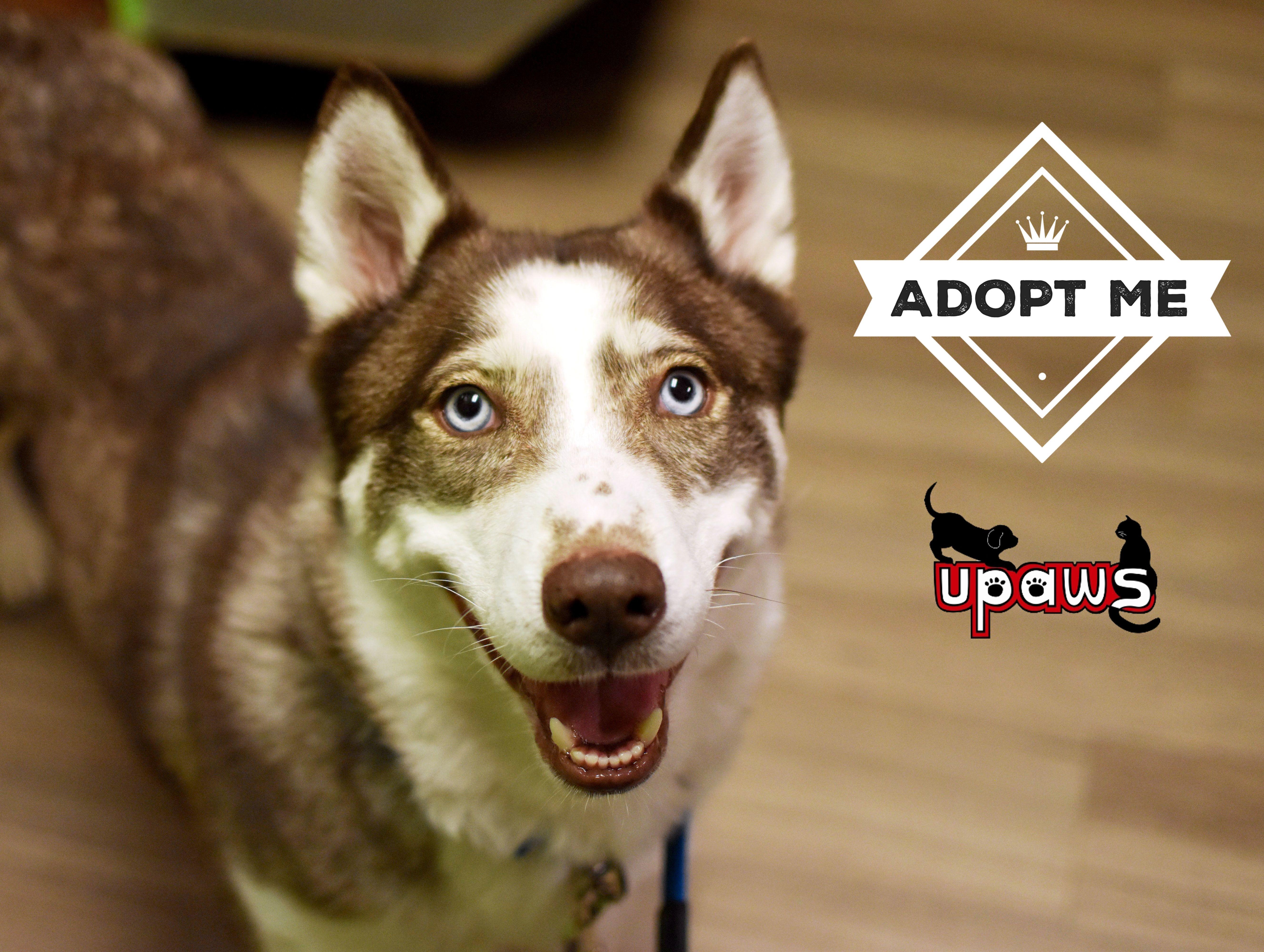 Siberian Husky dog for Adoption in Negaunee, MI. ADN-783911 on ... | Siberian Husky Puppies Adoption Michigan