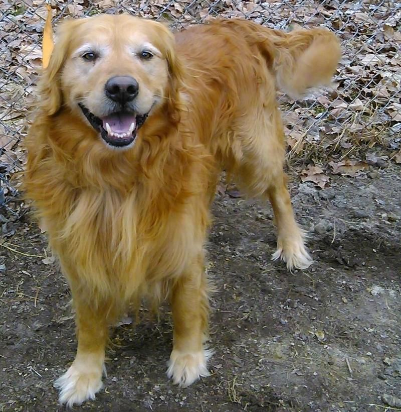 Adopt Duncan On Golden Retriever Mom Golden Retriever Rescue