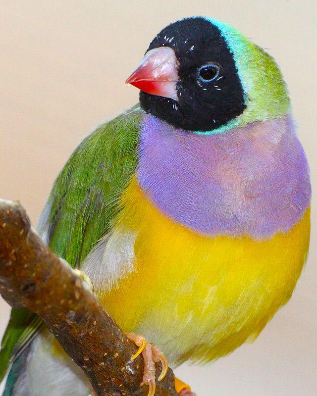 National Aquarium Gouldian Finch Animals Beautiful Birds Pet Birds