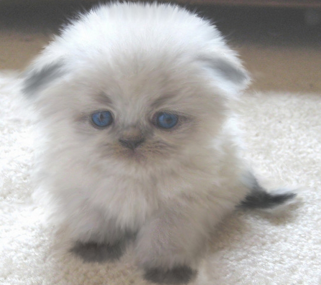 A Very Cute Gallery Of Himalayan Kittens Scottish Fold Kittens