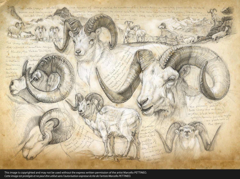 191 Dall sheep © marcello | Draws | Pinterest | Anatomía animal ...
