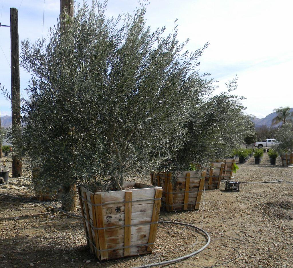 Wilsonii Olive 36 Box Multi Trunk Desert Landscape Tree