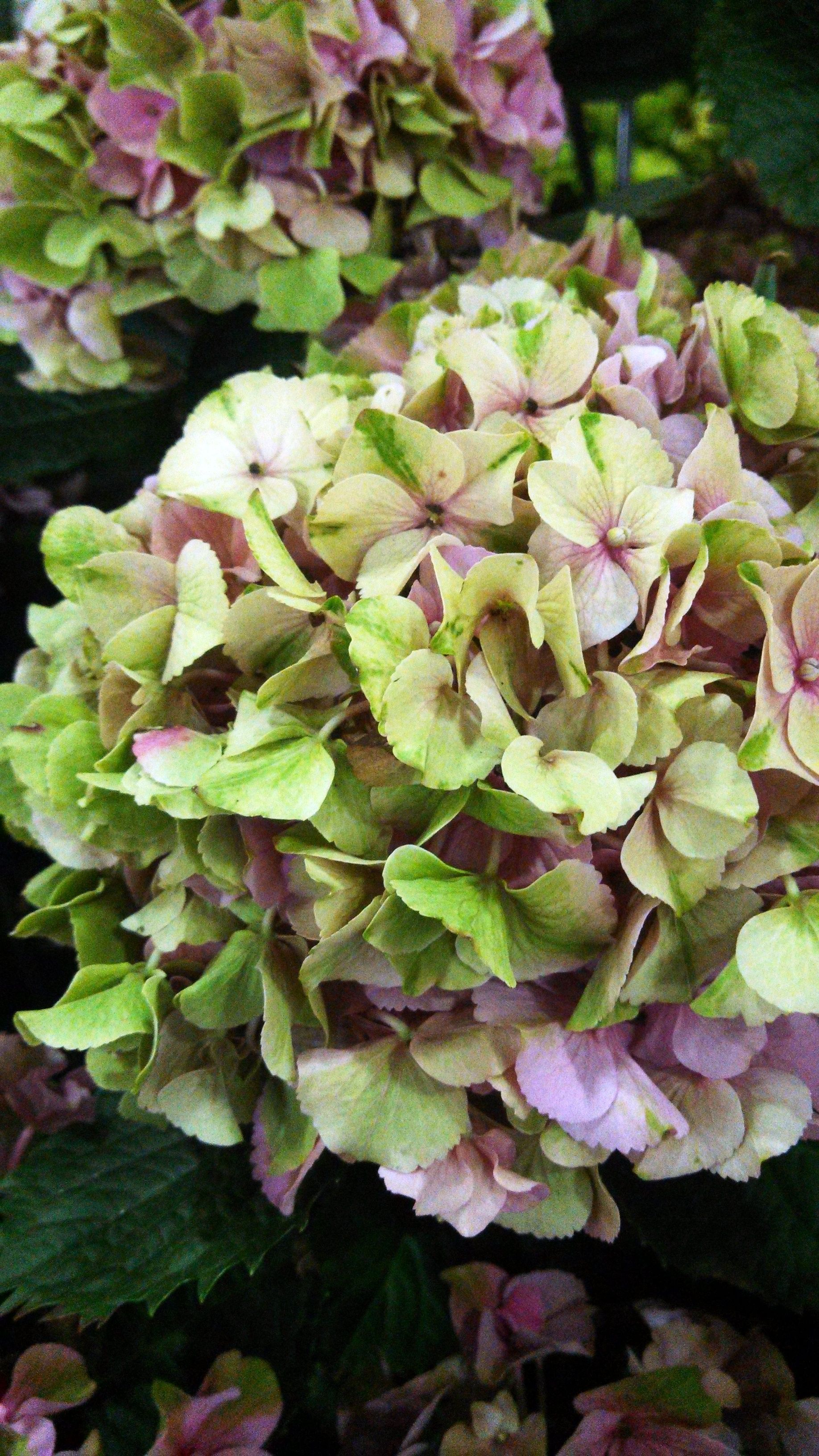 So I Have a Hydrangea Obsession. No Big Deal — Right
