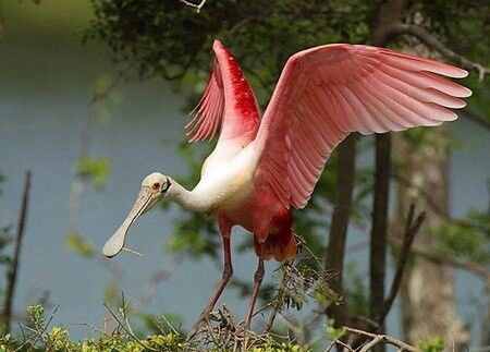 Rose Spoonbill