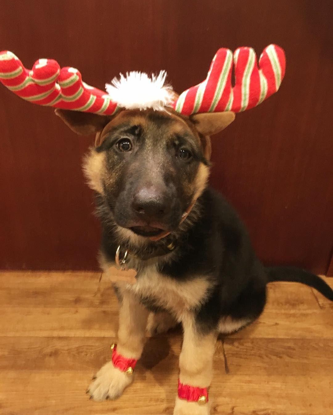 Gsd puppyfranz german shepherd christmas dog dog chart