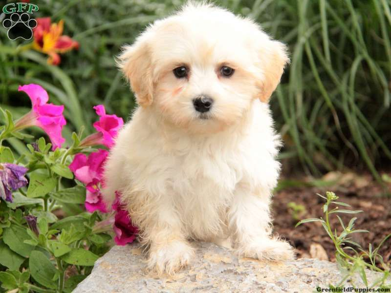 Firefly Maltipoo Puppy For Sale From Ephrata Pa Maltipoo Puppy Maltipoo Puppies For Sale Puppies