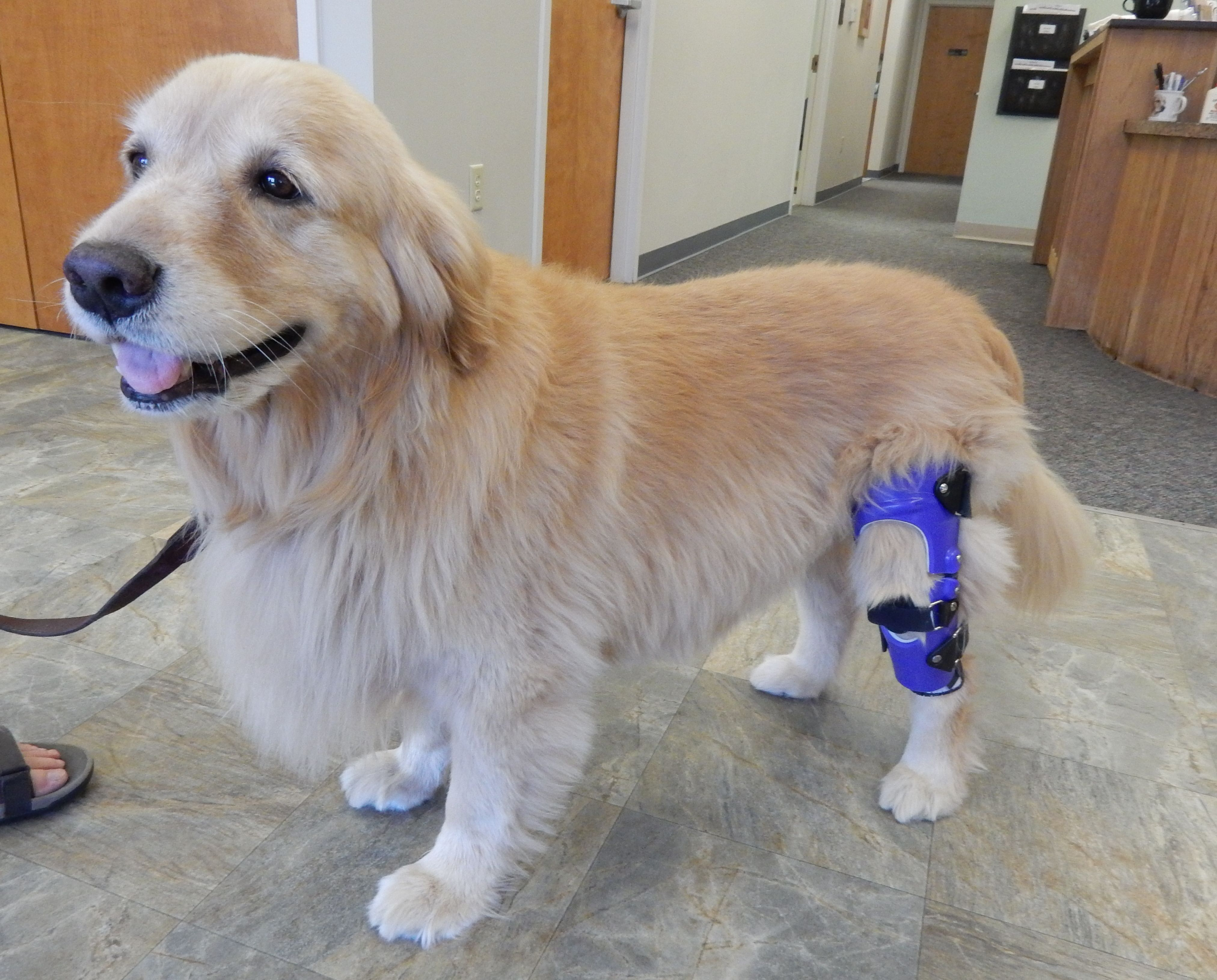 Amber A Nine Year Old Golden Retriever Is Sporting Her Custom