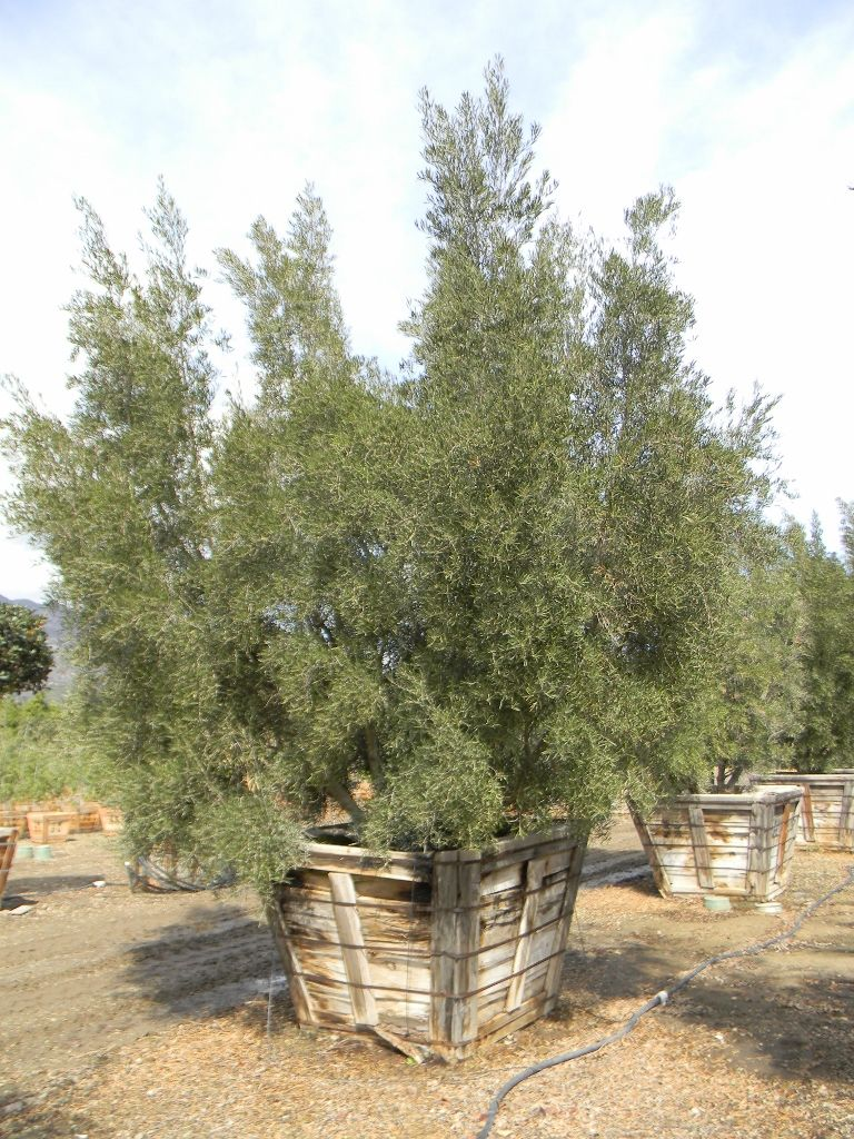 Majestic Beauty Fruitless Olive 60 Box Very Matured Tree Olive Tree Plants Olive