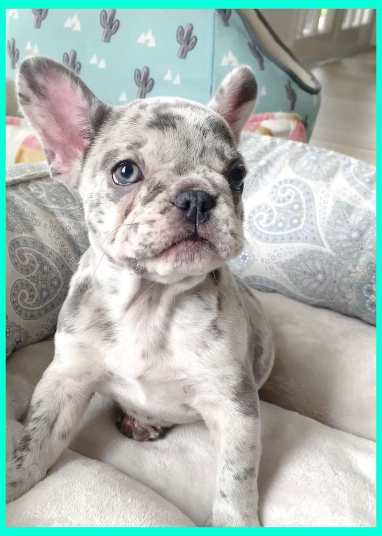 Buying A Bulldog The Definitive Guide English Bulldog Puppies Merle English Bulldog Puppi In 2020 French Bulldog Puppies Bulldog Puppies Cute Little Animals