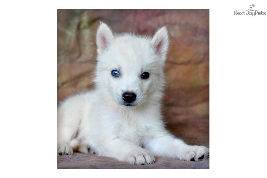Miniature White Husky Goldenacresdogs