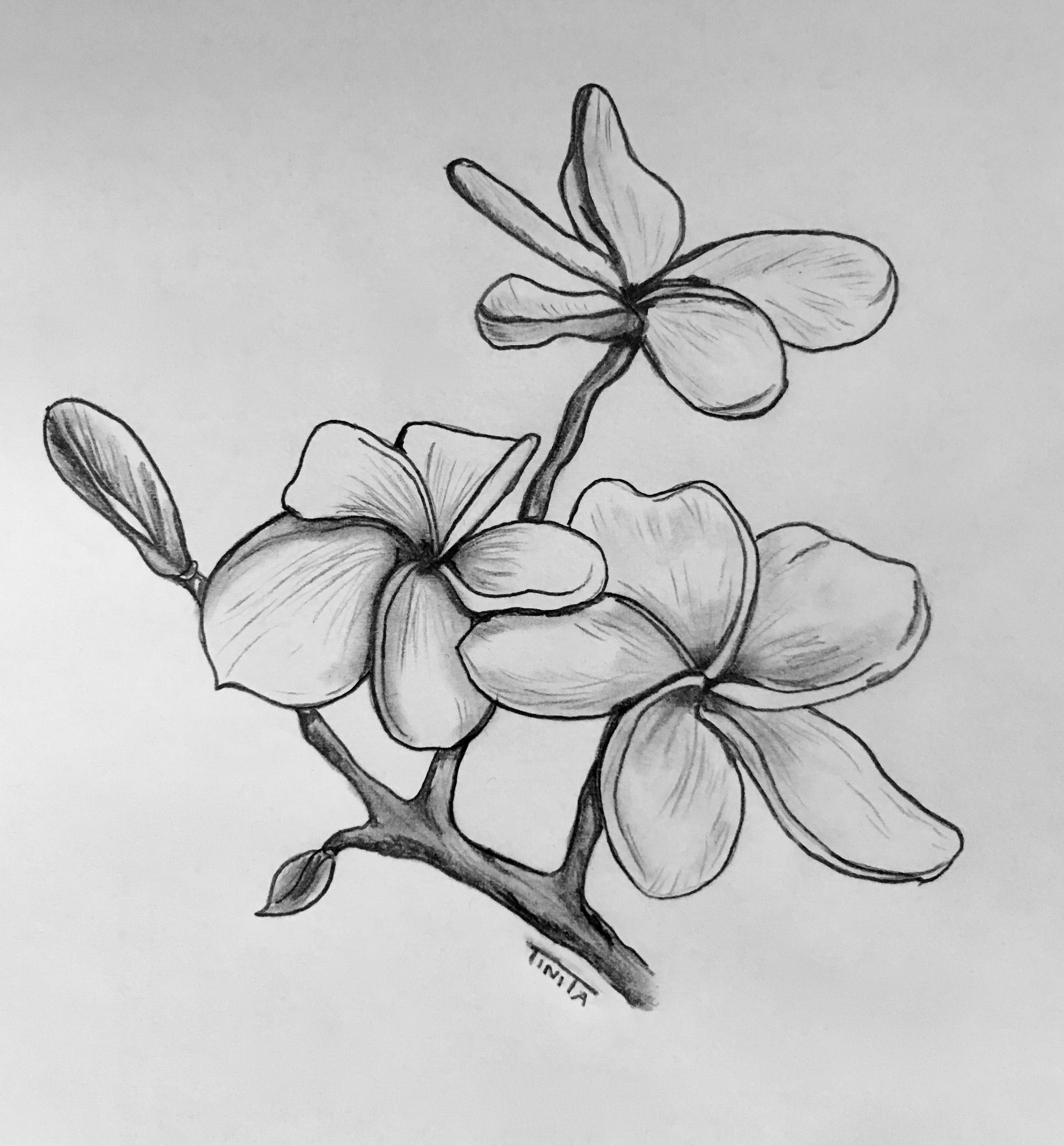 Frangipani Flowers Flower Sketches Flower Drawing Pencil Drawings Of Flowers