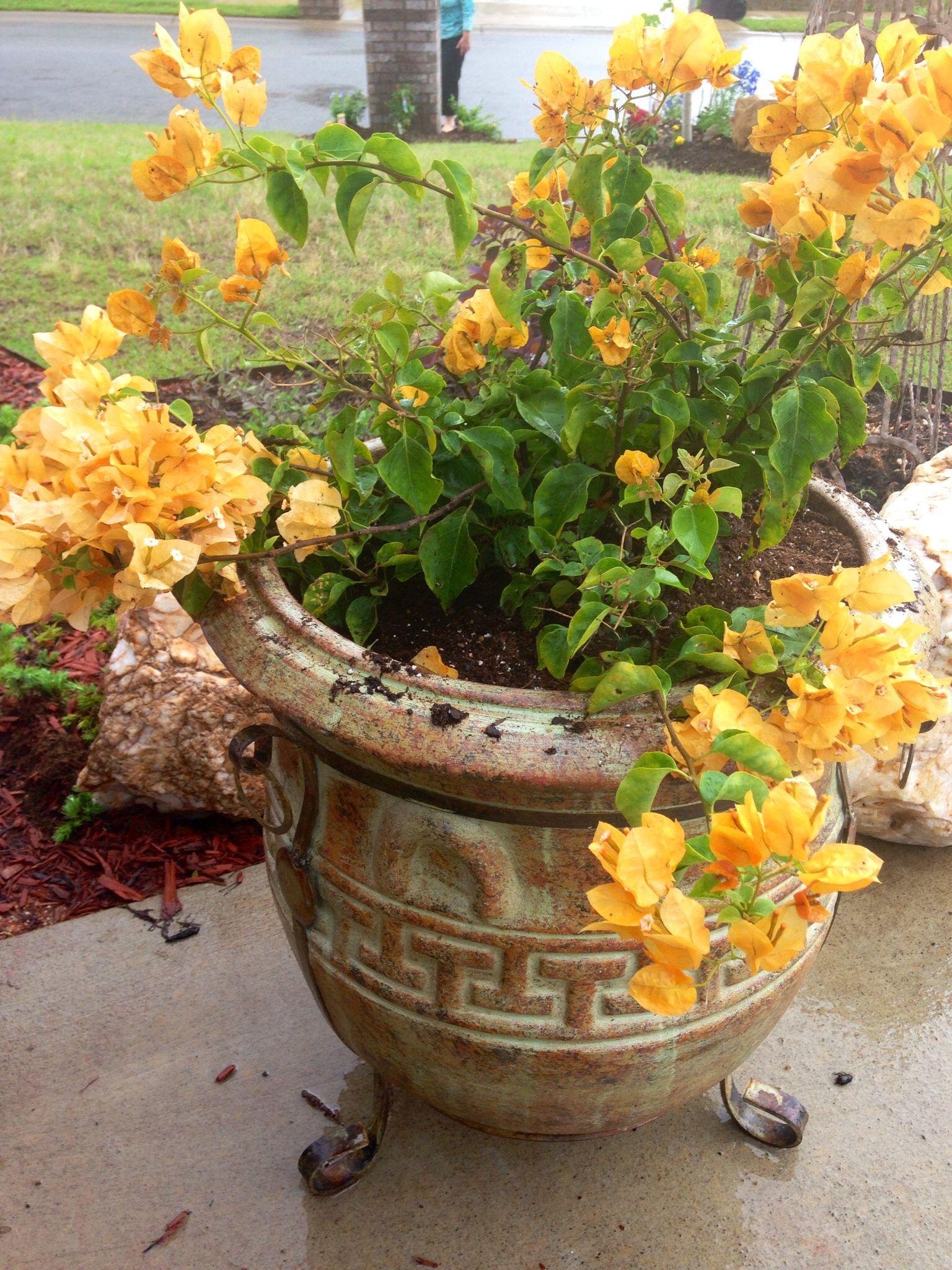 Boganavilla golden yellow flowers