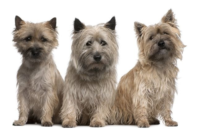 Top 10 Dog Breeds With Allergies (With images) Cairn