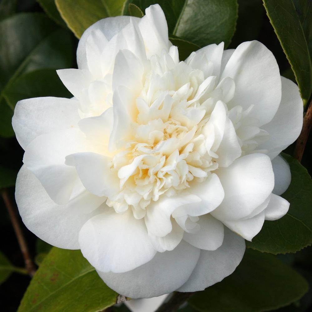 """Camellia japonica """"Leonora Novick"""""""