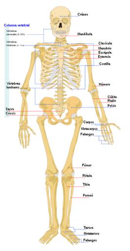 el nombre de los huesos fichas infantiles del cuerpo humano para ...