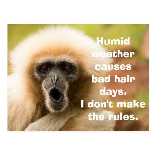 Funny Monkey Bad Hair Day Postcard