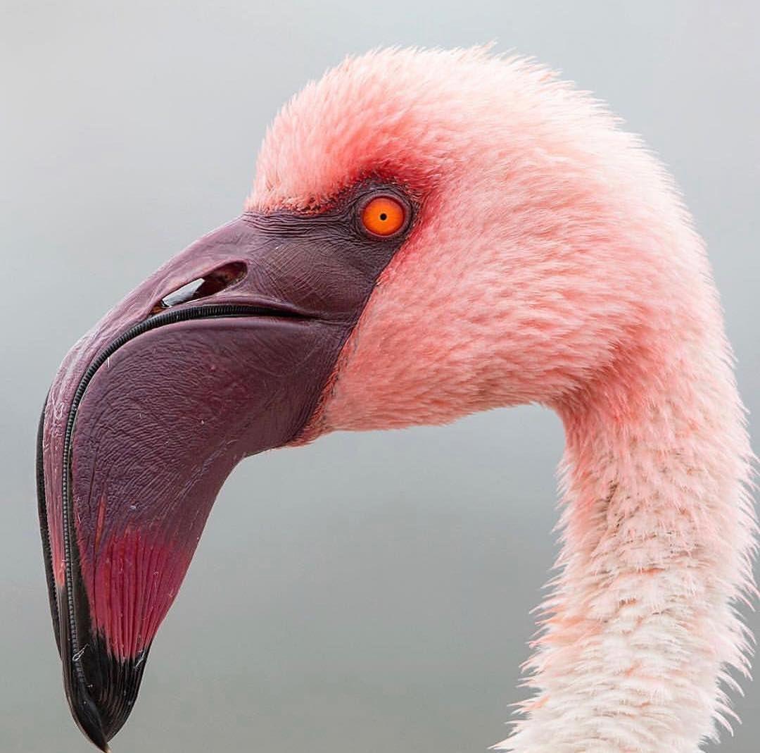 "? EarthPix ? on Instagram: ""The majestic lesser flamingo from Namibia by @christiantillerphotography""   Flamingo photo, Animals beautiful, Flamingo"