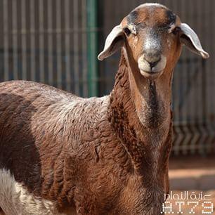 Pingram Me D8 Ad D8 A8 D8 A7 D8 B5 D9 8a Horses Animals Goats