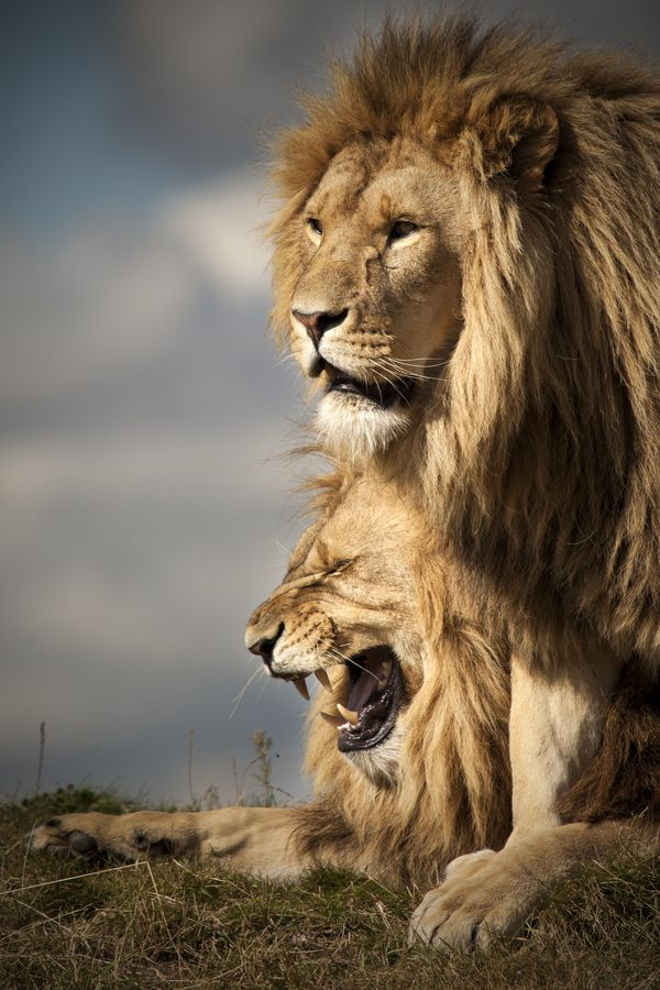 Lions live for 10–14 years in the wild, while in captivity they can live longer than 20 years. In the wild, males seldom live longer than 10 years, as injuries sustained from continual fighting with rival males greatly reduce their longevity. They typically inhabit savanna and grassland, although they may take to bush and forest.