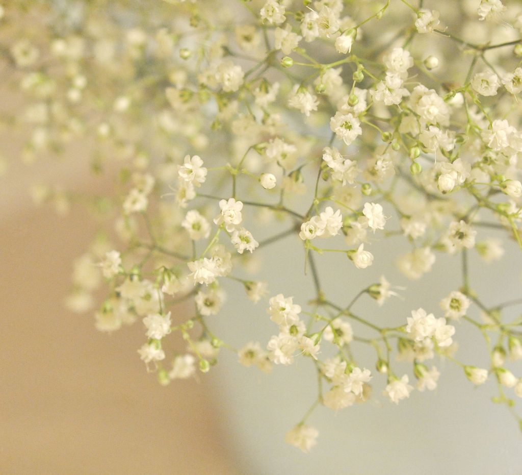 Baby S Breath With Images Babys Breath Babys Breath Flowers Flower Meanings
