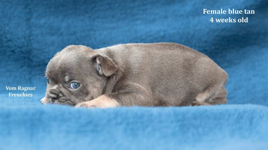 Home Vom Ragnar Frenchies French Bulldog Puppies Chicago