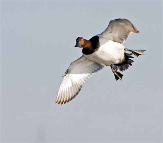 Canvasbacks The King Of Ducks Great Photo Look How You Can