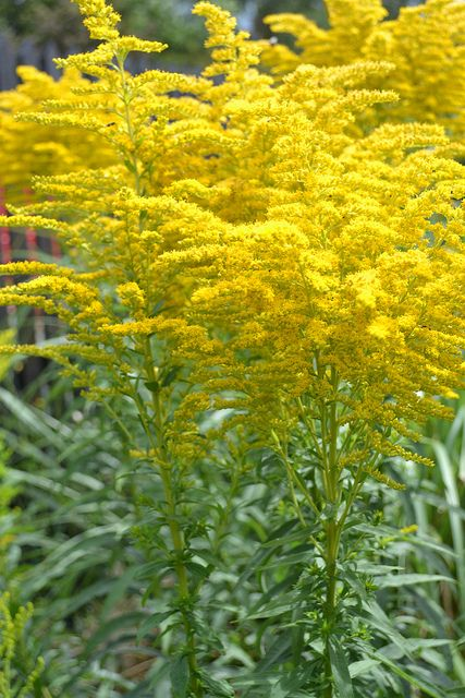 Solidago Altissima Tall Goldenrod Attracts Monarch Butterflies Important During Migration Pollinator Garden September Flowers Trees To Plant