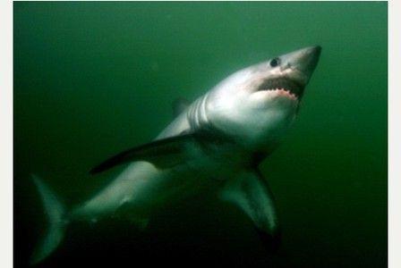 'Massive' shark caught off Cornish coast sparks national headlines - again   Read more: http://www.cornishguardian.co.uk/Massive-shark-caught-Cornish-coast-sparks/story-26547139-detail/story.html#ixzz3apyRVDuW  Follow us: @cornishguardian on Twitter   cornishguardian on Facebook