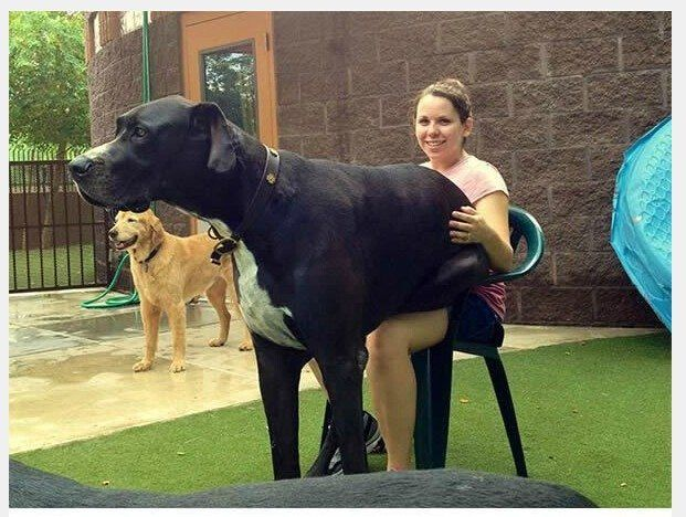 24 Insanely Cute Dogs That Are Unaware Of Their Size Huge Dogs
