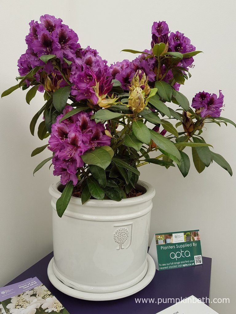 Rhododendron Hachmann S Orakel Was Bred In Germany By Holger